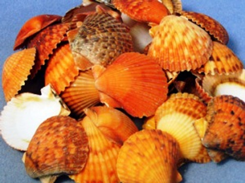 Orange Pecten Seashell
