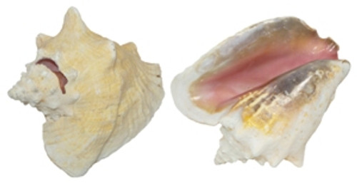 """25114 Pink Conch 7""""-9"""""""