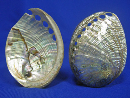 76149 Pearlized Green Abalone 7 - 8 CM