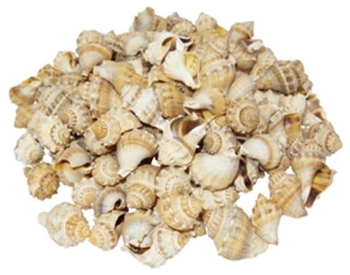 King's Crown Seashell Brown