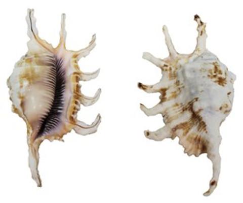 Lambis Scorpio Seashell(Lambis Scorpius)