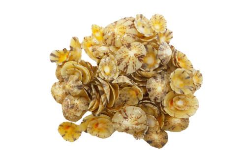 Limpets Seashell