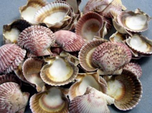 Pink Pecten Seashells