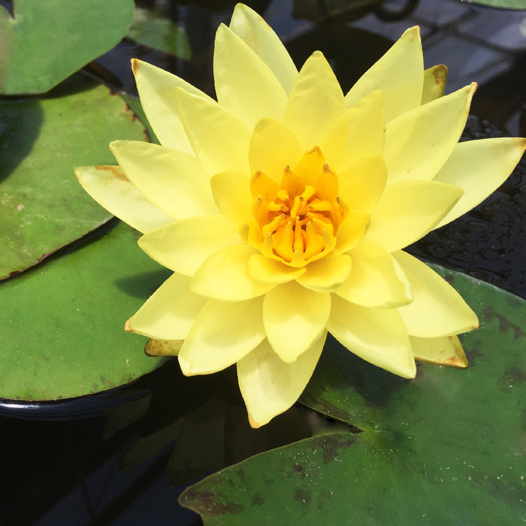 'Joey Tomocik' Yellow: Hardy Water Lily