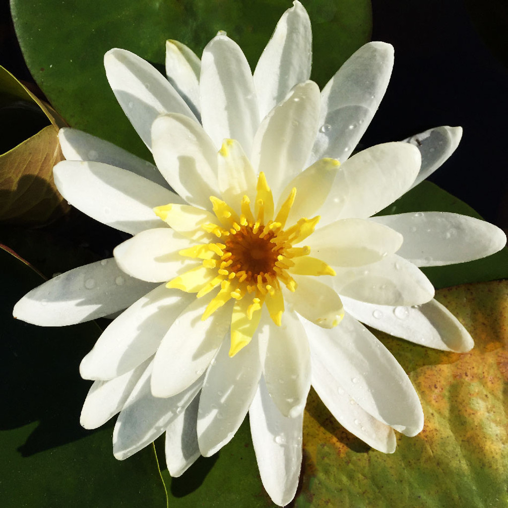 Queen of Whites: Hardy Water Lily