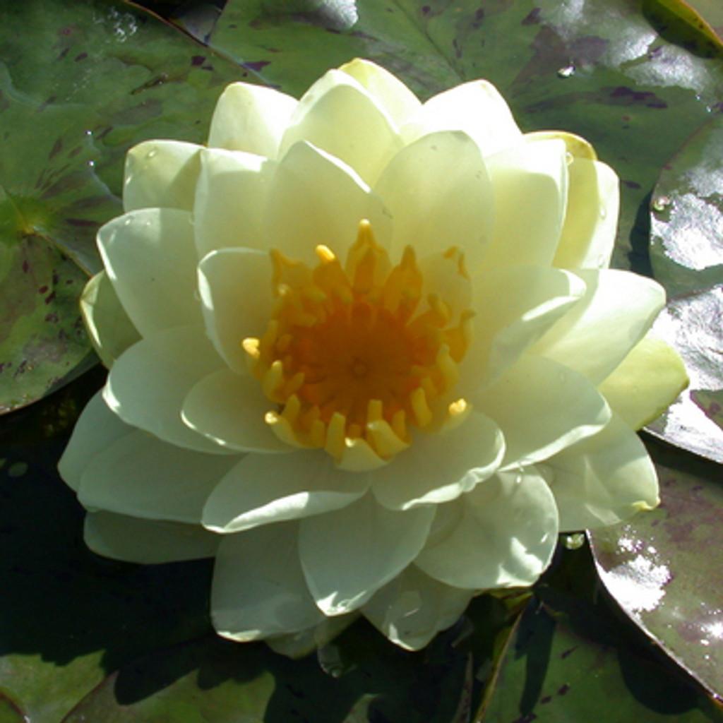 Double Lemon Chiffon - Hardy Water Lily
