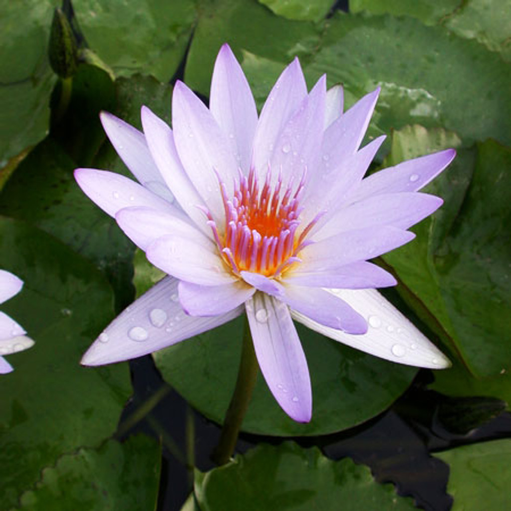 Blue Beauty - Tropical Water Lily (Day Bloomer)