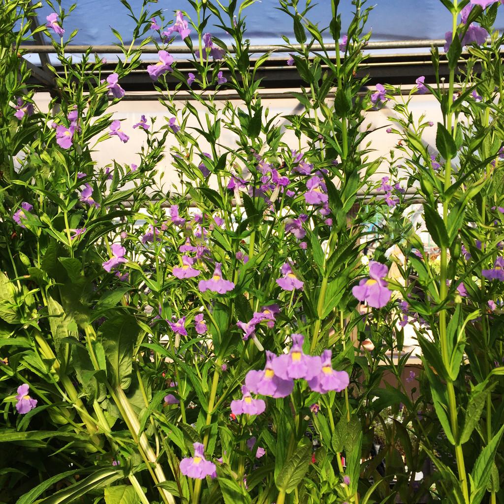 Lavender Musk