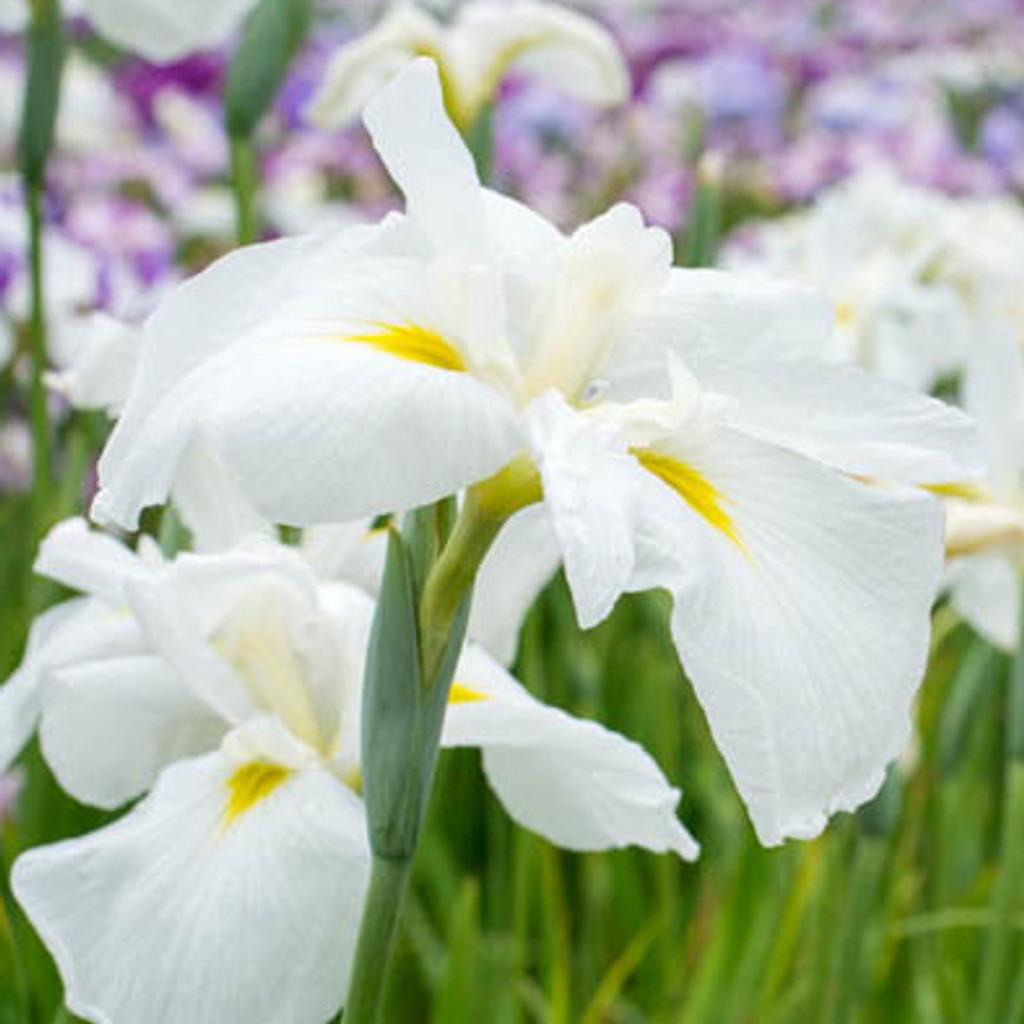 Alba White Water Iris