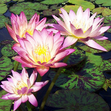 Albert Greenburg - Tropical Water Lily (Day Bloomer)