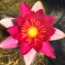Super Red - Hardy Water Lily