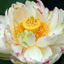 Empress White Lotus