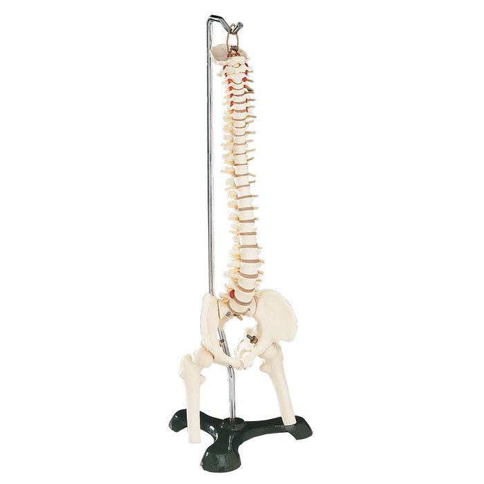 FLEXIBLE VERTEBRAL COLUMN WITH STAND, DESK SIZED, 18-1/2""