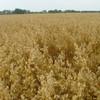 Bob oats when mature