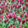 Crimson Clover is a hardy winter forage.