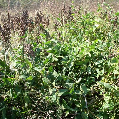 Quail Haven Re-Seeding Soybeans