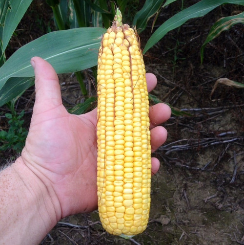 Steyer Corn Seed RR/Bt
