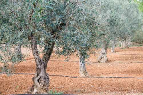 Coratina Olive Oil