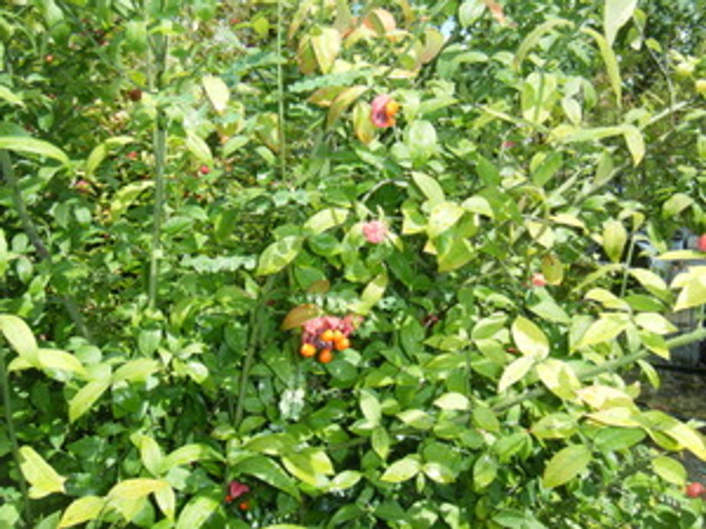 Euonymus americanus Strawberry Bush