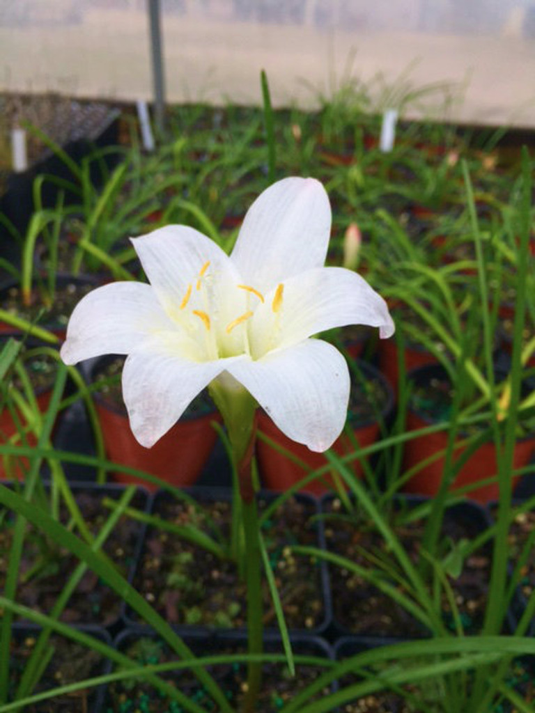 Zephyranthes atamasco Rain Lily Easter Lily