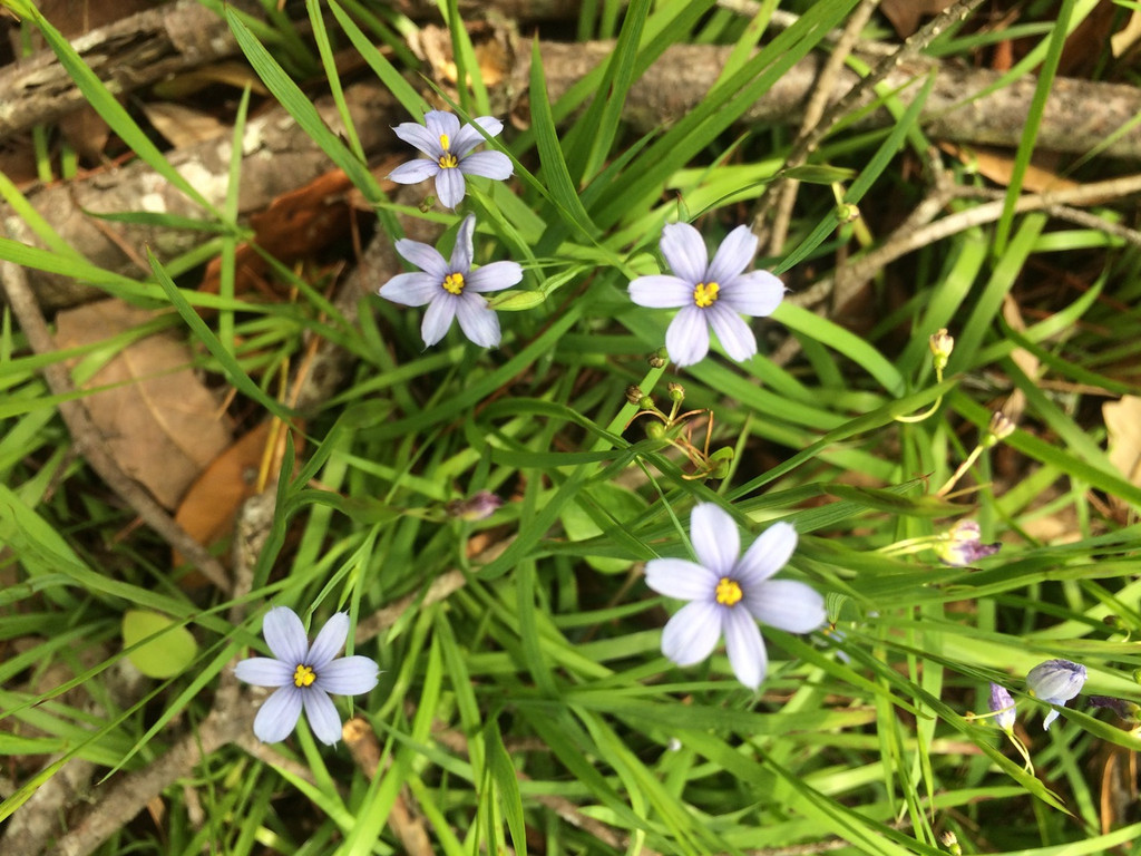 Sisyrinchium 'Suwannee' Blue eyed Grass 1gallon