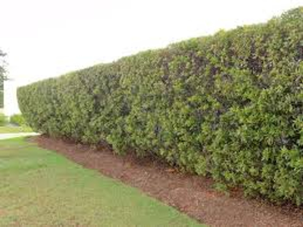Formal waxmyrtle hedge that becomes dense with shearing