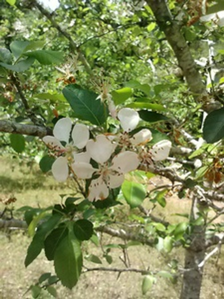 Malus angustifolia Crabapple 1gallon
