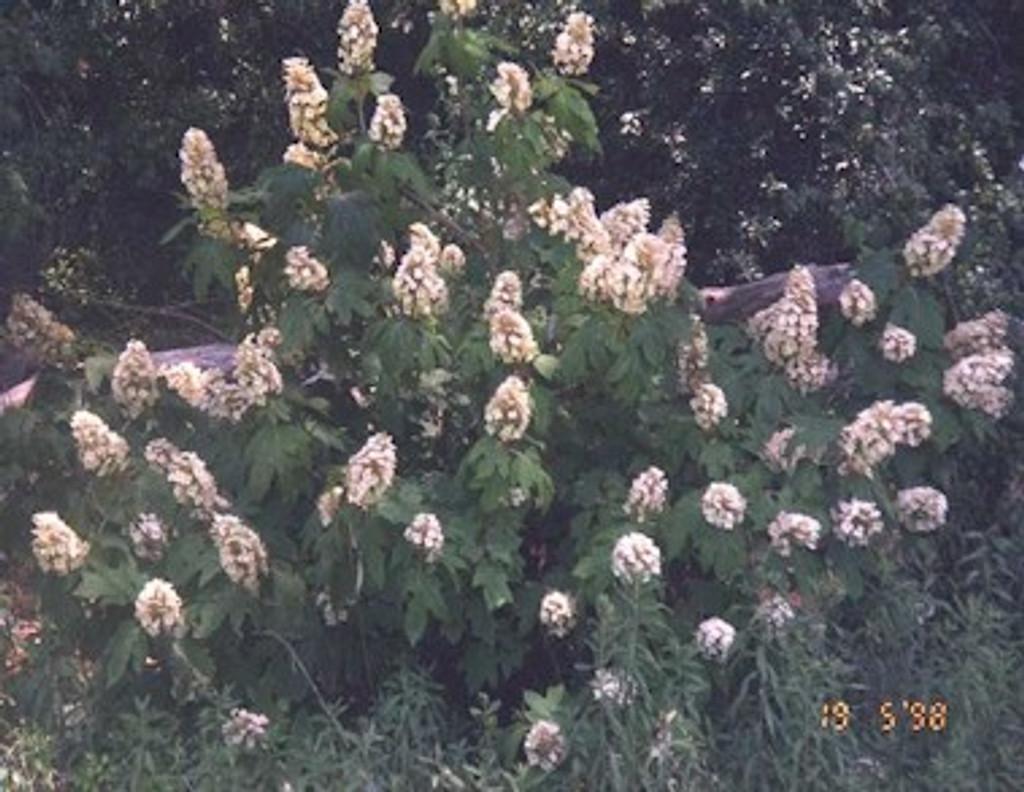 Hydrangea quercifolia Oakleaf Hydrangea 1gallon