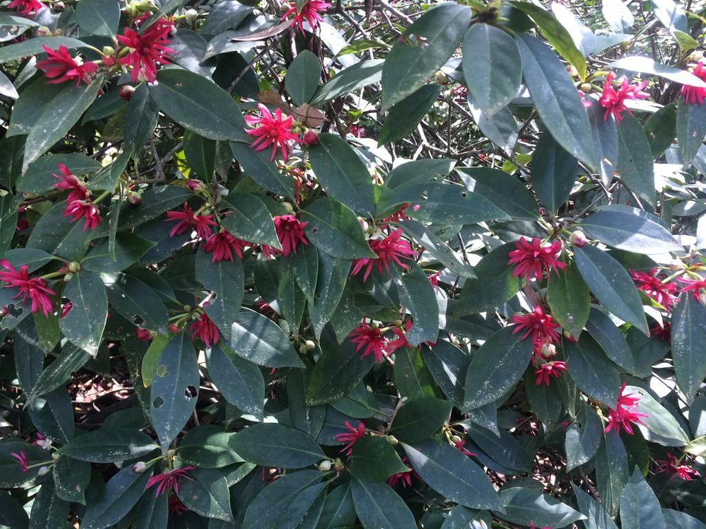 Illicium floridanum Florida Anise