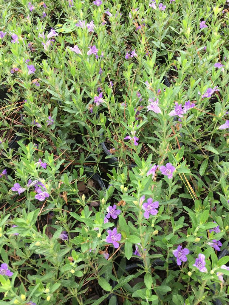 Dyschoriste oblongifolia Twinflower Snakeherb