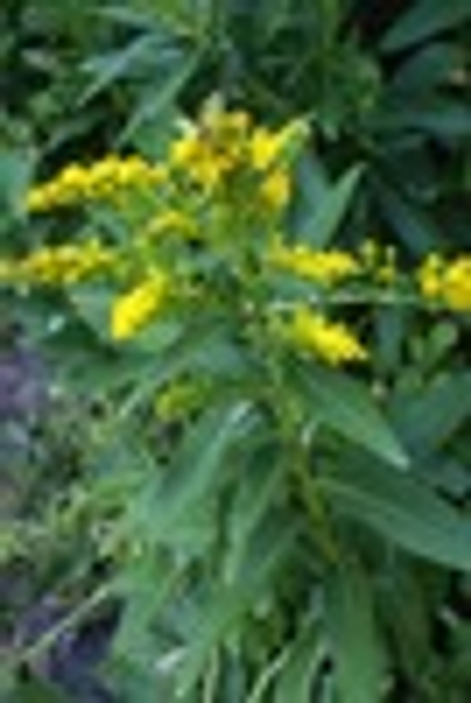 Solidago sempervirens Seaside goldenrod 1gallon