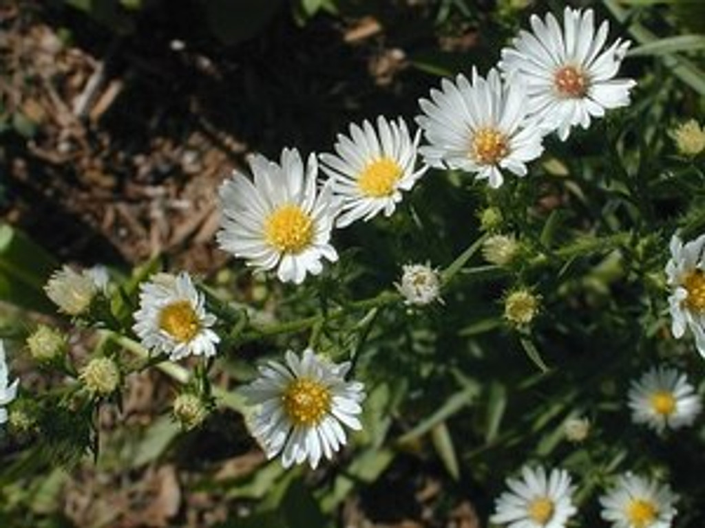 Aster pilosus Frost Aster 1gallon