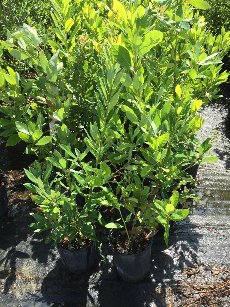 Persea palustris Swamp Redbay