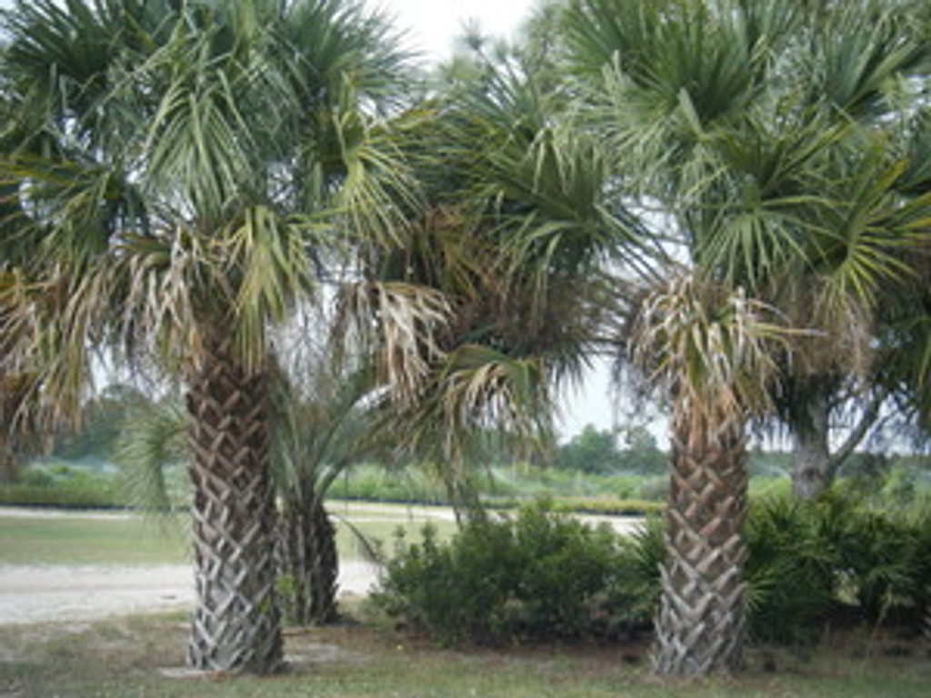 Sabal palmetto (Cabbage Palm)