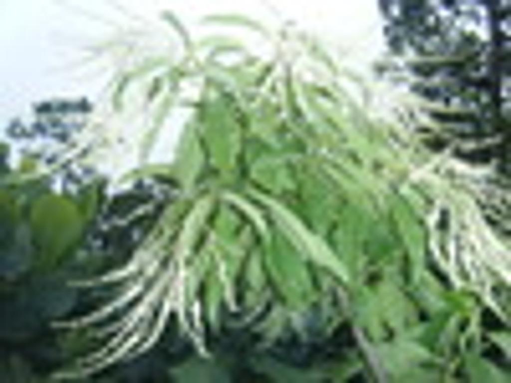 Oxydendrum arboreum Sourwood