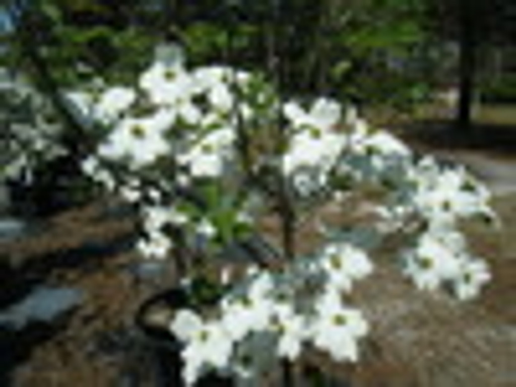 Cornus florida Weaver 1gallon