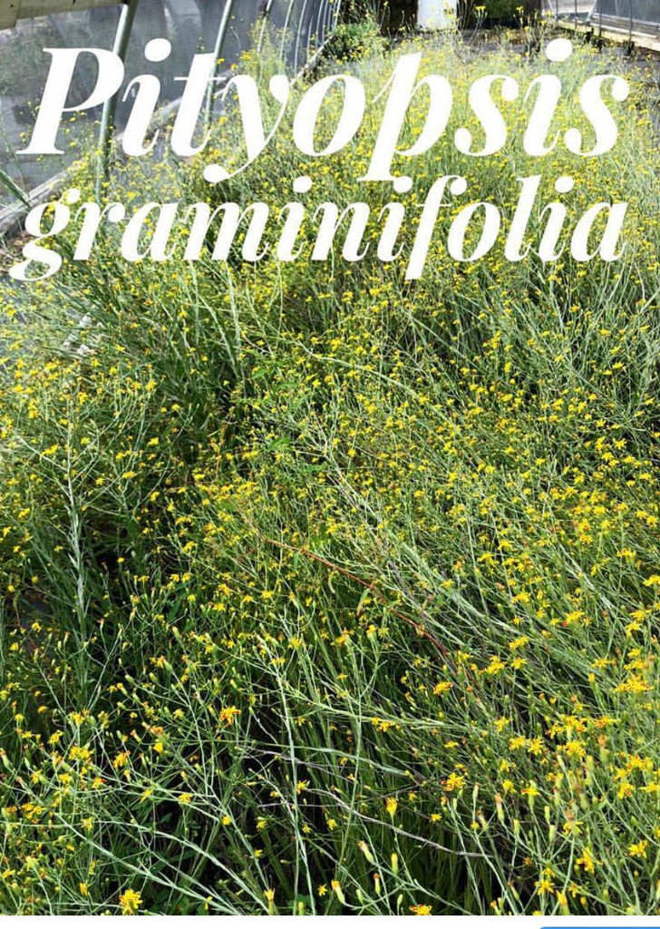 Pityopsis graminifolia Grass-leaved Golden Aster