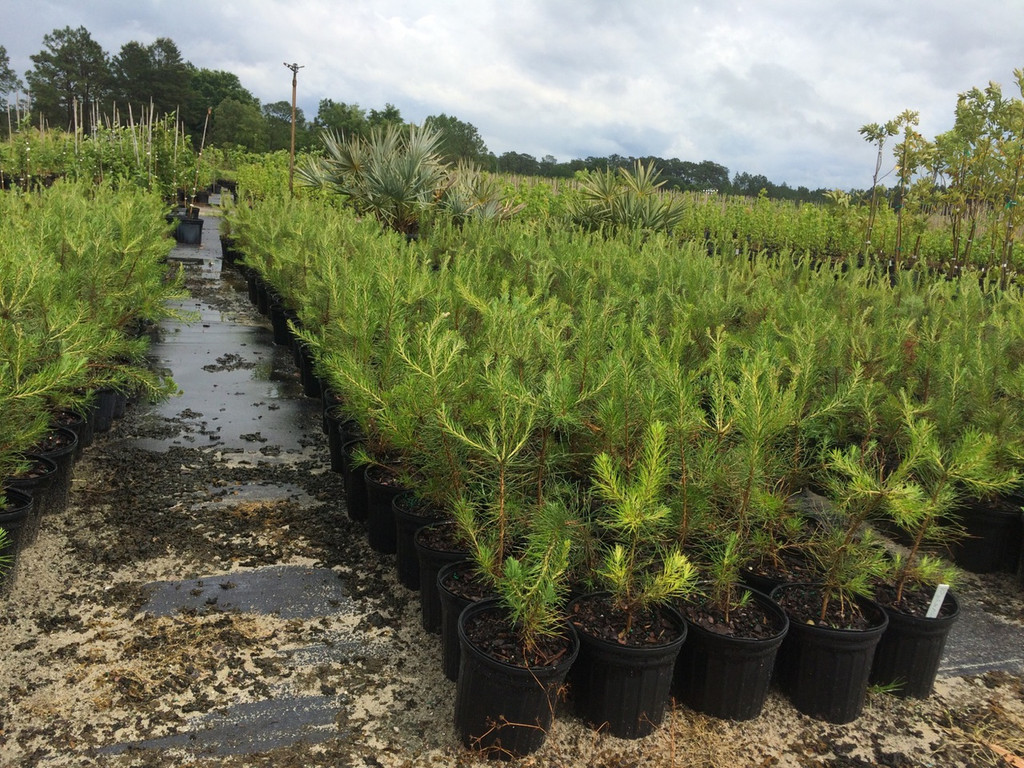 """Virginia Pine 1gallon apprx 12"""" tall May 9, 2016"""