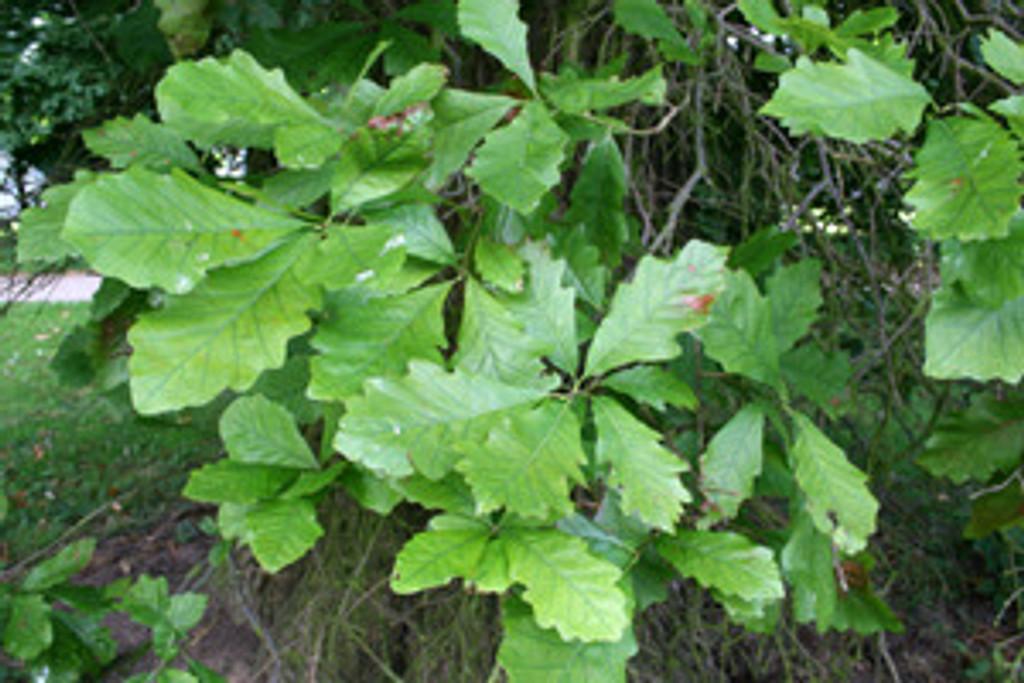 Quercus bicolor Swamp White Oak 1gallon