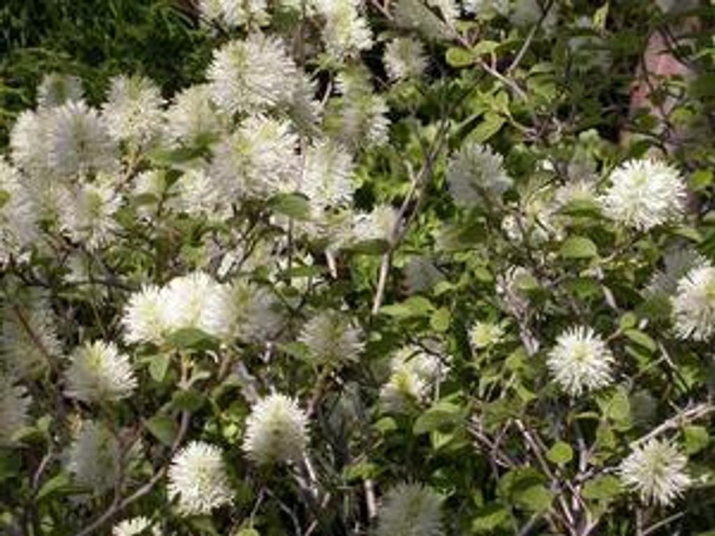 Fothergilla gardenii 1gallon