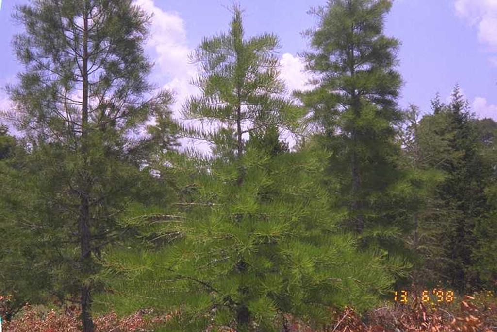 Taxodium ascendens Pond Cypress