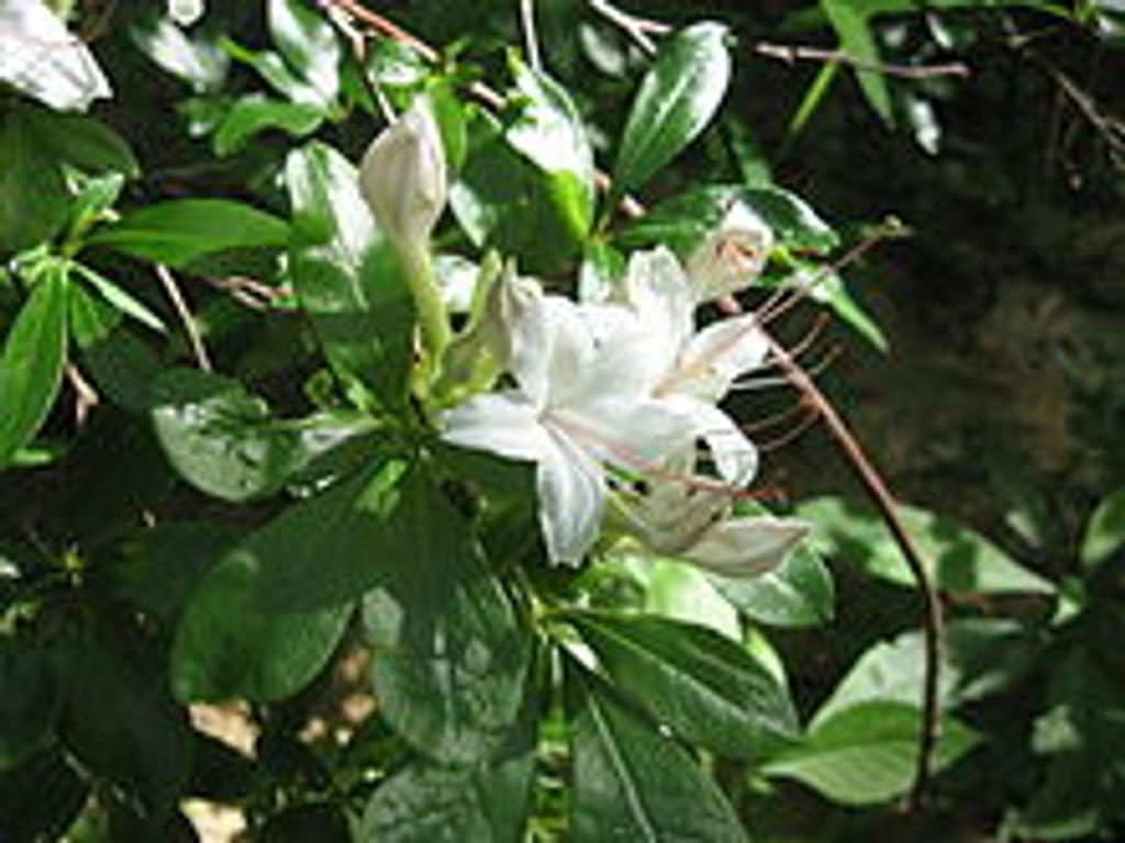 Rhododendron arborescens Sweet Azalea 1gallon
