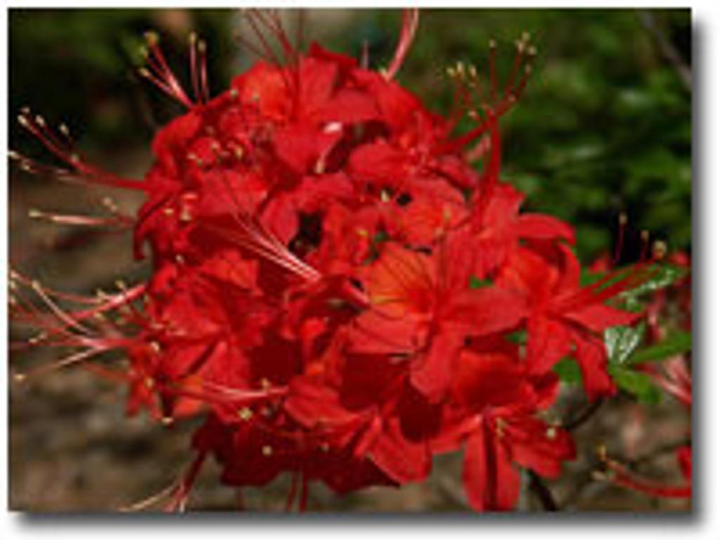 Rhododendron flammeum JACK MELTON
