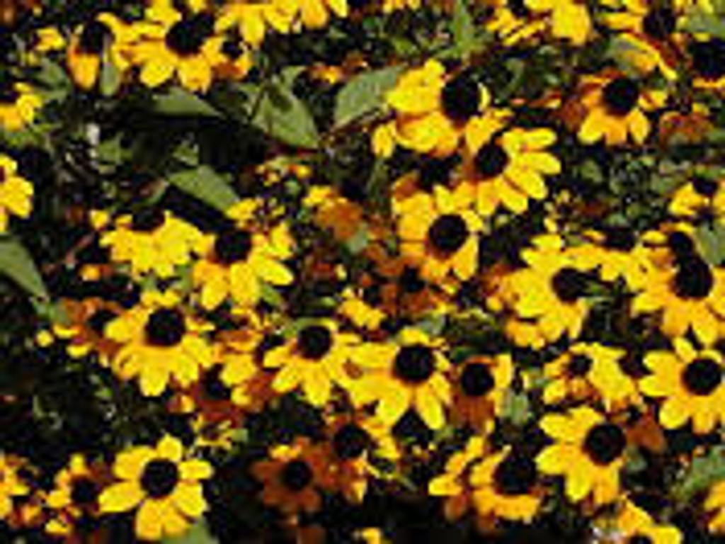 Rudbeckia triloba (Brown Eyed Susan) 1gallon