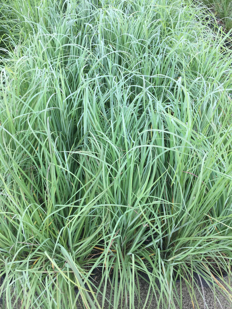 Andropogon ternarius (Split-Beard Bluestem) 1gallon