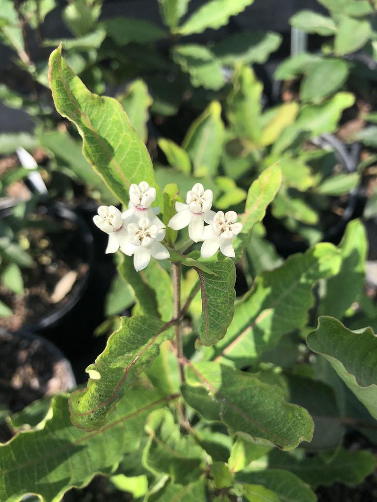 Asclepias variegata (Redring Milkweed) 1 gallon