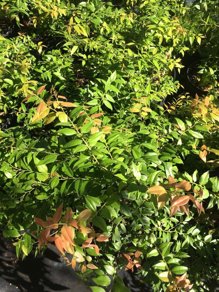 Agarista (Leucothoe)  populifolia (Pipestem Florida Doghobble