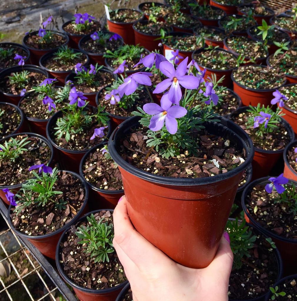 Viola pedata (Bird's Foot Violet) pint pot