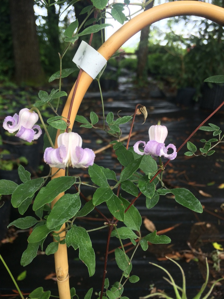 Clematis crispa blooming June 29th at the nursery
