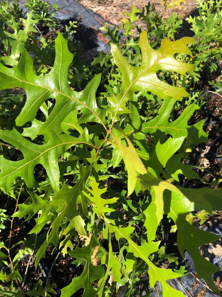 Quercus laevis Turkey Oak